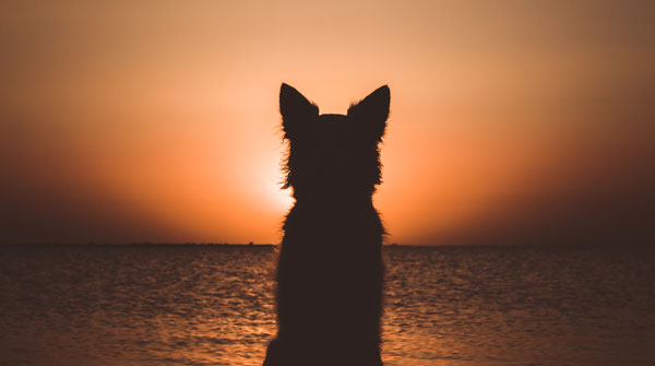 Silhouette of a white berger shepherd dog.