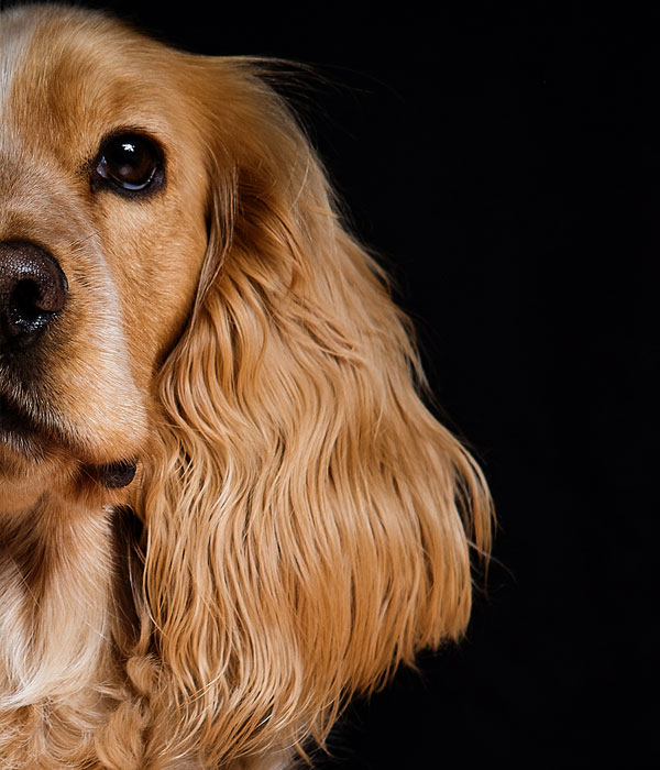 Cocker Spaniel on a black background