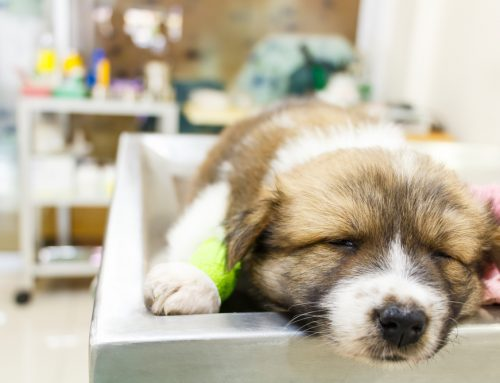 What You Need To Know About Canine Parvovirus